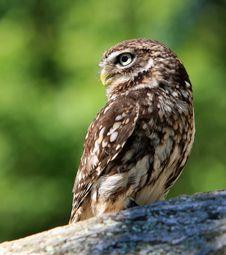 Free Owl Stock Image - 11614991