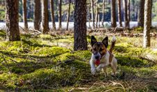Free Adult Jack Russell Terrier Running On The Green Grass Field Royalty Free Stock Image - 116147426
