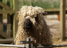 Free Snout, Alpaca, Livestock, Sheep Royalty Free Stock Image - 116175436