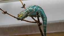 Free Scaled Reptile, Reptile, Chameleon, Lizard Royalty Free Stock Images - 116175439