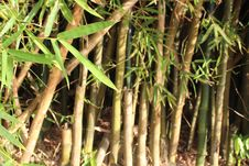 Free Bamboo, Grass Family, Plant Stem, Grass Stock Images - 116175584