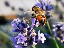 Free Honey Bee, Bee, Insect, Nectar Stock Images - 116175604