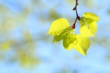 Free Leaf, Yellow, Branch, Spring Royalty Free Stock Photography - 116176037