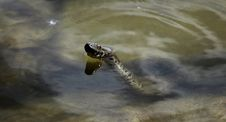 Free Reptile, Turtle, Fauna, Water Stock Image - 116176441
