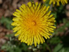 Free Flower, Yellow, Sow Thistles, Dandelion Stock Images - 116176494