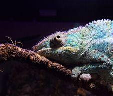 Free Iguania, Reptile, Scaled Reptile, Chameleon Royalty Free Stock Image - 116176546