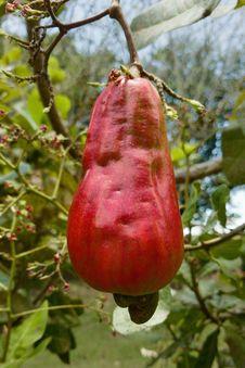 Free Flora, Fruit, Syzygium Samarangense, Leaf Stock Image - 116176641