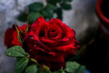 Free Red, Rose, Flower, Rose Family Royalty Free Stock Photo - 116176655