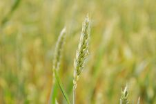 Free Grass, Grass Family, Field, Food Grain Stock Images - 116176724