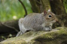Free Squirrel, Mammal, Fauna, Fox Squirrel Royalty Free Stock Image - 116176726