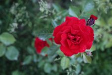 Free Rose, Flower, Rose Family, Red Royalty Free Stock Photos - 116176758