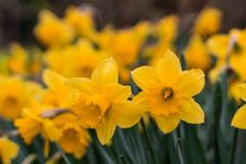 Free Yellow Daffodils In Selective Focus Photography Stock Photography - 116232052