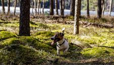 Free Photo Of Tan And White Terrier On Woods Royalty Free Stock Photo - 116232055