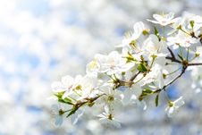 Free Selective Focus Photography Of White Cherry Blossom Flowers Royalty Free Stock Image - 116232056