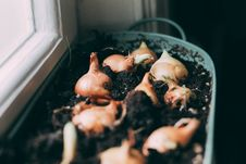 Free White Onions On Soil Stock Photography - 116232142