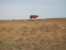 Free Brown Cow Standing On A Grass Field Royalty Free Stock Image - 116232146
