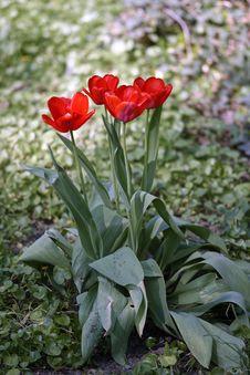 Free Red Tulip Flower Arrangemnet Royalty Free Stock Photo - 116232155