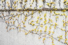 Free Yellow Vines On Gray Concrete Wall Stock Photography - 116232252