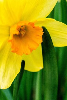 Free Selective Focus Photography Of Yellow Daffodil Flower Stock Photo - 116232330
