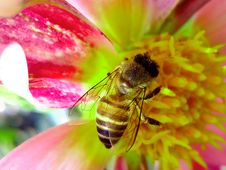 Free Honey Bee Perched On Pink And Yellow Petaled Flower Closeup Photography Stock Photos - 116232353