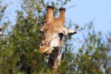 Free Closeup Photo Of Brown Giraffe Royalty Free Stock Photo - 116232385