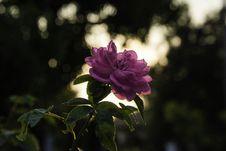Free Pink Rose At Daytime Royalty Free Stock Photography - 116232407