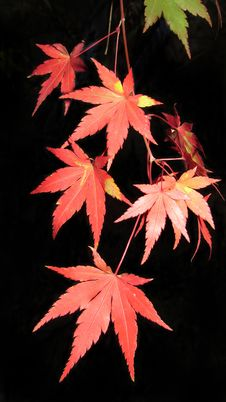 Free Maple Leaf, Leaf, Tree, Plant Stock Photography - 116266792