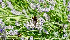 Free Plant, English Lavender, Bee, Lavender Royalty Free Stock Photography - 116266957