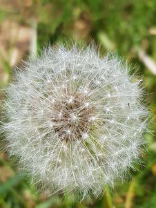 Free Dandelion, Flower, Flora, Plant Royalty Free Stock Photography - 116267047