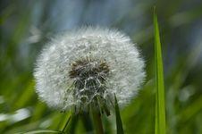 Free Flower, Dandelion, Flora, Plant Stock Photography - 116267072