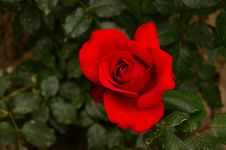 Free Rose, Flower, Rose Family, Red Stock Images - 116267144