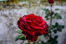 Free Flower, Rose, Red, Rose Family Stock Photography - 116267242