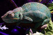 Free Chameleon, Reptile, Iguania, Fauna Royalty Free Stock Image - 116267786