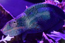 Free Blue, Chameleon, Purple, Marine Biology Royalty Free Stock Photo - 116267845