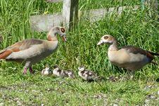 Free Bird, Duck, Water Bird, Ducks Geese And Swans Stock Photos - 116267873