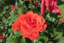 Free Rose, Flower, Rose Family, Floribunda Stock Image - 116267921