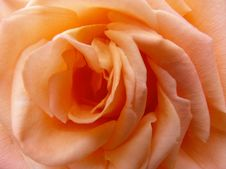 Free Rose, Orange, Flower, Rose Family Stock Photo - 116268050