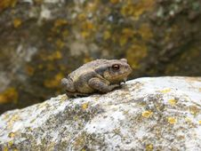 Free Toad, Amphibian, Fauna, Frog Stock Images - 116268404