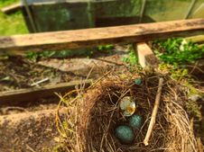 Free Bird Nest, Nest, Grass, Bird Royalty Free Stock Images - 116268579