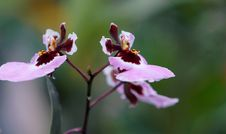 Free Purple-and-pink Moth Orchids Closeup Photo Royalty Free Stock Photos - 116307888