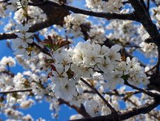 Free Blossom, Branch, Spring, Cherry Blossom Stock Photos - 116330493