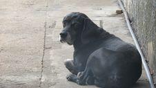 Free Dog Like Mammal, Dog, Dog Breed, Great Dane Stock Photos - 116330543