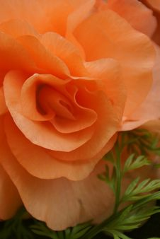 Free Rose, Orange, Rose Family, Flower Stock Photography - 116330822