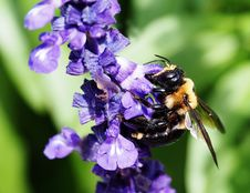 Free Bee, Honey Bee, Bumblebee, Insect Royalty Free Stock Image - 116331246