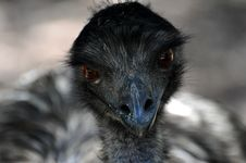 Free Beak, Emu, Bird, Fauna Royalty Free Stock Photos - 116331258