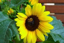 Free Flower, Sunflower, Yellow, Sunflower Seed Stock Images - 116331324