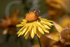 Free Honey Bee, Flower, Bee, Yellow Stock Photos - 116331353