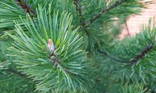 Free Tree, Pine Family, Conifer, Pine Royalty Free Stock Photos - 116331388