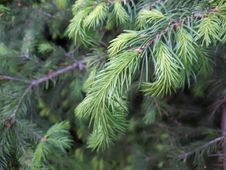 Free Tree, Spruce, Pine Family, Conifer Stock Photography - 116331922