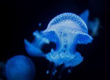 Free Jellyfish, Cnidaria, Blue, Marine Invertebrates Royalty Free Stock Images - 116331939
